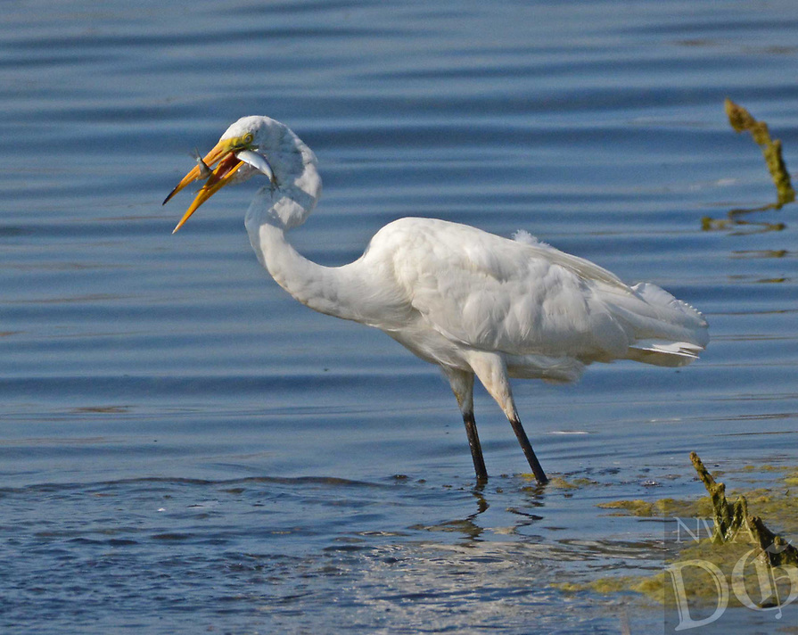 Courtesy photo/TERRY STANFILL<br />TASTY DOUBLE<br />An egret catches two fish wading the shoreline at Swepco Lake near Gentry. Terry Stanfill of the Decatur area took the picture in mid July.