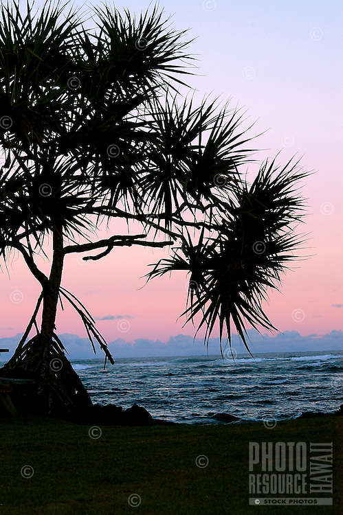A hala tree silhouetted against a pink, purple and blue sunrise, Kapoho, island of Hawai'i.