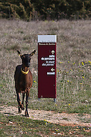 Europe/Europe/France/Midi-Pyrénées/46/Lot/Rocamadour: Le Troupeau de chêvres de  Marc Villard éleveur , à la ferme de la Borie d'Imbert qui produit des fromages de chêvre Rocamadour AOC