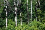 Trees  under, Bäume unter dem Schloss Vaduz, Rheintal, Rhine-valley, Liechtenstein.