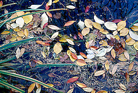 FALL FOLIAGE<br /> Fallen Leaves On A Pond.