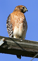 Red-shouldered hawk adult on cross arm