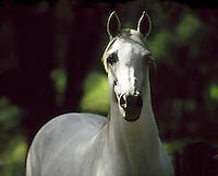 Arabian stallion portrait.