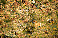 Peninsular Bighorn Sheep (Ovis canadensis cremnobates), Anza-Borrego Desert State Park, California.