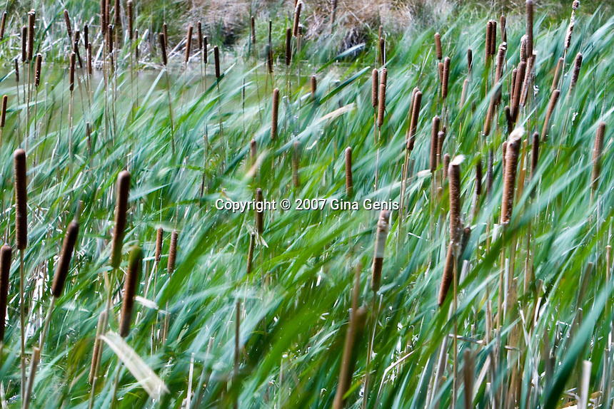 Bullrushes being blown by the wind at Lake Fulmor