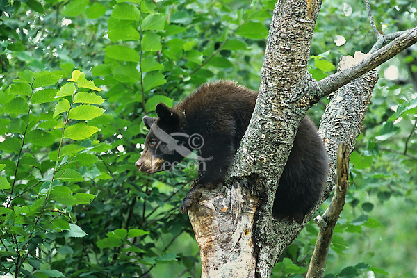 Young Black Bear (Ursus americanus) seeking protection in dead tree snag.  Upper Great Lakes area.  Summer.