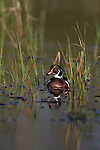 Drake wood duck in spring