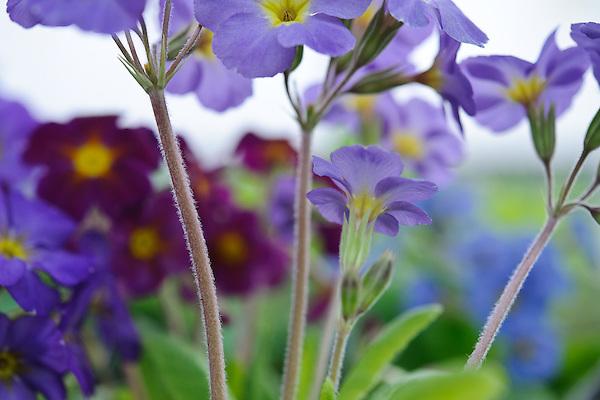 Polyanthus 'Muted Victorians' (Barnhaven Victorian polyanthus)
