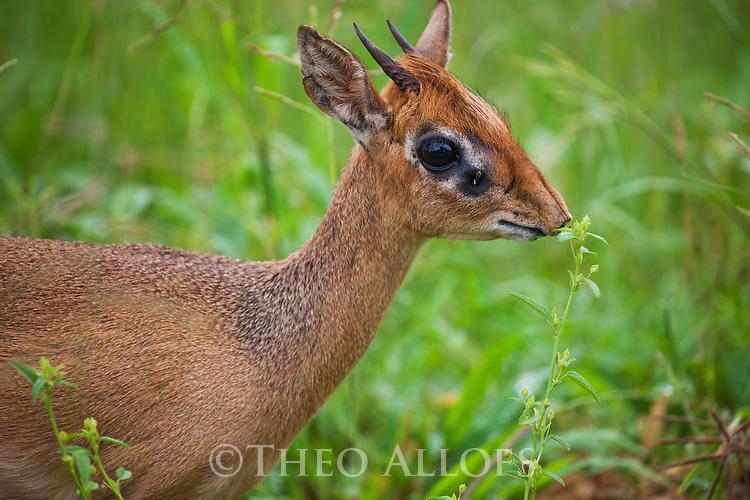 Tanzania, Tarangire National Park, dik-dik