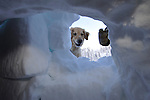 Crested Butte, Colorado avalanche rescue dog Betty, digs through the snow to find a buried skier - during a training drill.