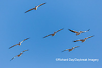 00671-01008 American White Pelicans (Pelecanus erythrorhynchos) in flight Riverlands Migratory Bird Sanctuary St. Charles County, MO
