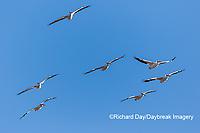 00671-01008 American White Pelicans (Pelecanus erythrorhynchos) in flight Riverlands Migratory Bird Sanctuary St. Charles County, MO