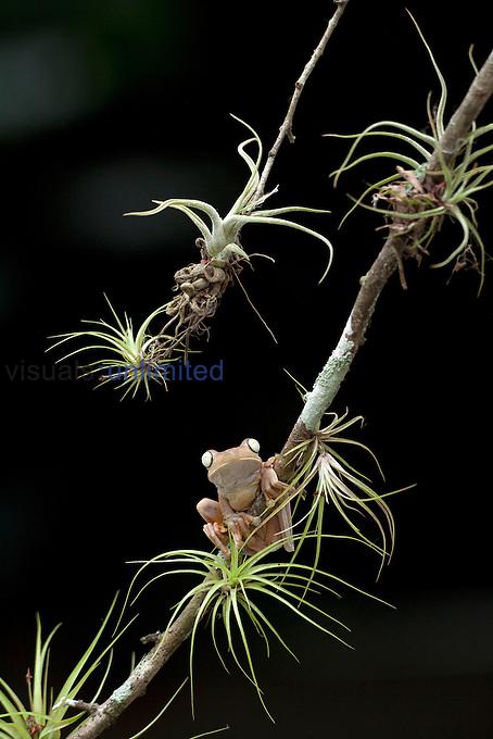 Gladiator Tree Frog (Hyla rosenbergii), Costa Rica