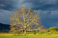 Great Smoky Mountains National Park, TN/NC: Evening sunlight on solitary white oak (Quercus alba) and clearing storm clouds in Cades Cove, early spring