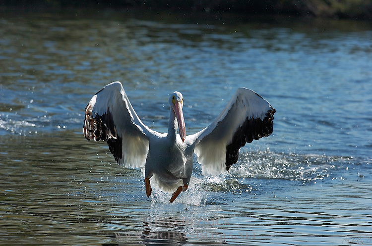 Galloping White Pelican, American White Pelican, Sepulveda Wildlife Refuge, Southern California