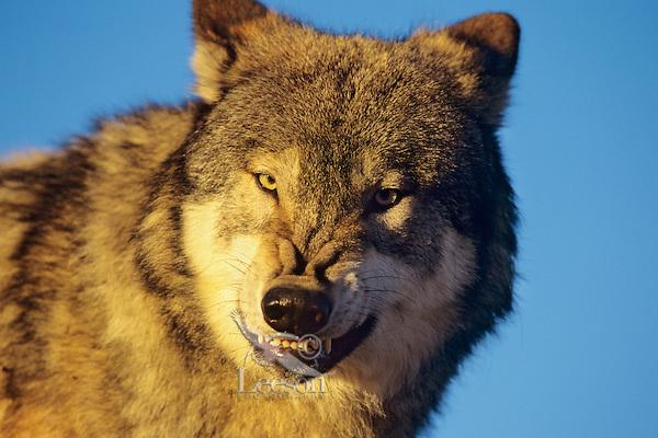 Gray wolf snarling.
