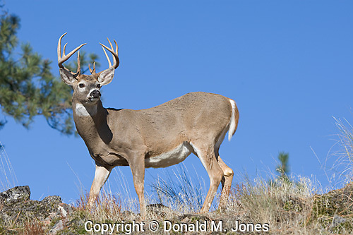 Whitetail Deer (Odocoileus virginianaus)