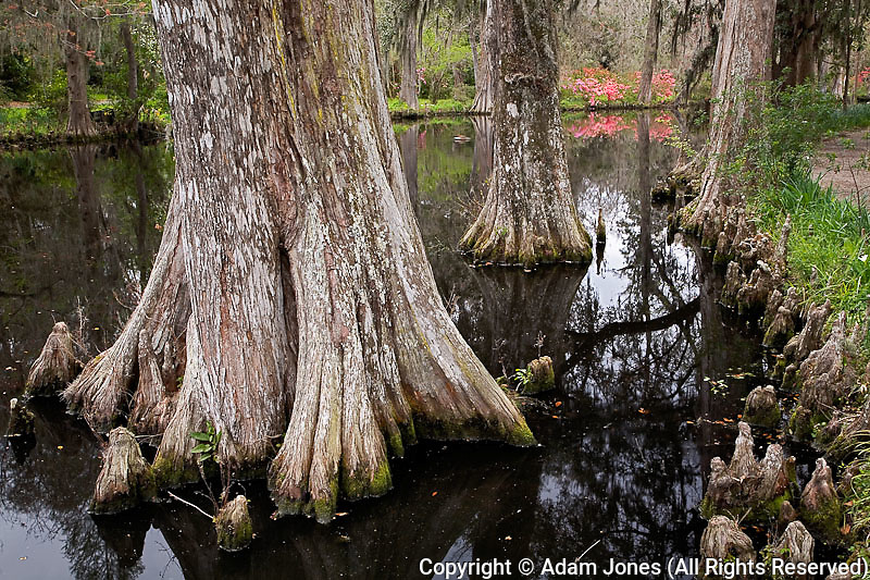 Cypress tree and cypress knees along pond, Magnolia Plantation, Charleston, South Carolina
