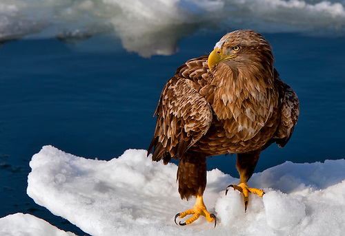 A wildlife image of a white-tailed sea eagle standing on the pack ice off the coast of Rausu, Japan.