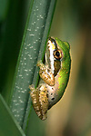 USA; California; San Diego; A Baby Green Tree Frog in Mission Trails Regional Park in San Diego