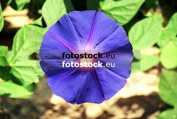 Purple (The Morning Glory, Tall Morning Glory)<br /> <br /> La purpura (Gloria de la ma&ntilde;ana)<br /> <br /> Prunkwinde (Prachtwinde, Trichterwinde) <br /> <br /> bot.: Ipomoea purpurea<br /> <br /> Original: 35 mm
