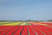 Flower field of tulips, Netherlands, Holland