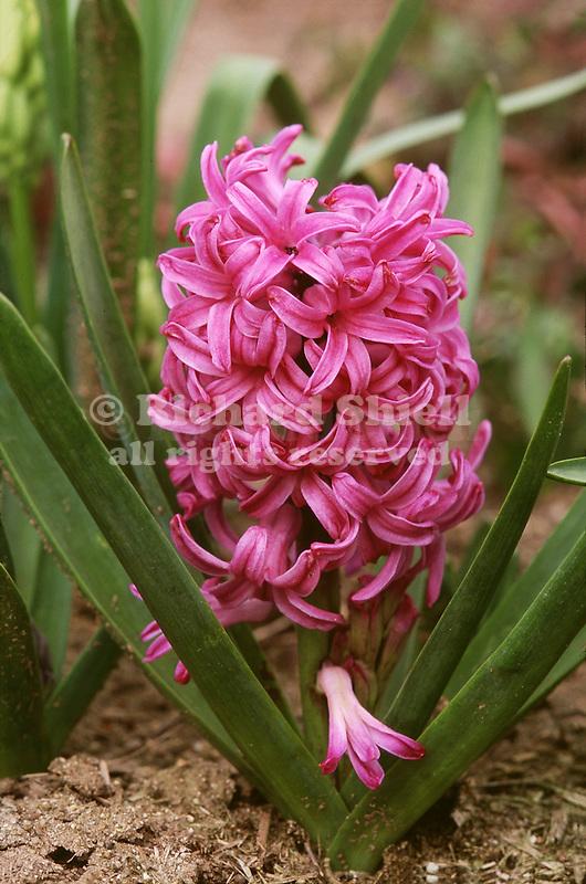 17201-CJ Dutch Hyacinth, hot pink, Hyacinthus orientalis 'Pink Pearl' flowering bulb in February at Bakersfield, CA USA