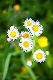 Bunch Of Daisy fleabane Flowers of Rododendren Gardens on Roan Mountains