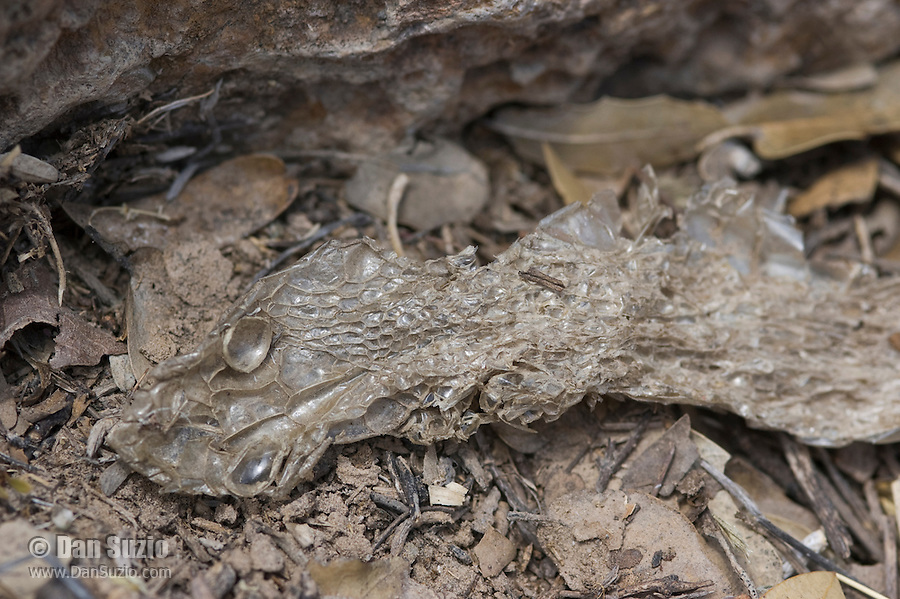 Shed skin of a large snake. Sycamore Canyon, Coronado National Forest, Arizona.