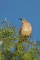 Curve-billed Thrasher, Toxostoma curvirostre, male singing on Honey Mesquite (Prosopis glandulosa), Willacy County, Rio Grande Valley, Texas, USA