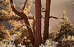 Ponderosa Pine trees on the north rim of Grand Canyon