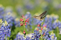 Black-chinned Hummingbird (Archilochus alexandri), adult female feeding on blooming Scarlet betony (Stachys coccinea) among Texas Bluebonnet (Lupinus texensis), Hill Country, Texas, USA