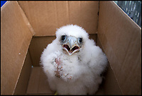 BNPS.co.uk (01202 558833)<br /> Pic: RSPB/BNPS<br /> <br /> The orphaned chick when it was first rescued.<br /> <br /> An orphaned peregrine falcon chick whose parents were deliberately poisoned has been tagged as it prepares to leave its adopted nest.<br /> <br /> The young bird was rescued from its nest by experts after its parents were found dead on the ground.<br /> <br /> It was placed into a nest with another chick of similar age in the tower of Salisbury Cathedral, Wilts, and reared by its adopted mother.<br /> <br /> Phil Shelldrake, of the RSPB, has ringed the chick so they can monitor it in the future before it flies the nest.