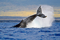 humpback whale, Megaptera novaeangliae, peduncle throw or tail breach, Hawaii, USA, Pacific Ocean