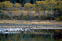 A Flock of Canada Geese (Branta canadensis) taking off from River