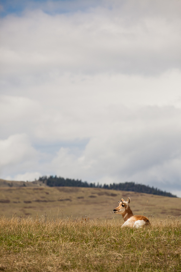 A single pronghorn antelope rests in the grassland on a hot summer day in the National Bison Range, Montana.