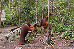 Bornean Orangutan (Pongo pygmaeus wurmbii) - mother and child with standing Tom, the King of Camp Leakey.