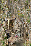 Wild iberian Lynx sitting in tall grass and shrubs cleaning paw after feeding on deer carcass.