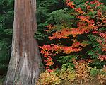 Mount Baker-Snoqualmie National Forest, WA:  Fall colored Vine Maple (Acer circinatum) brances alongside a Western Red Cedar (Thuja plicata) trunk