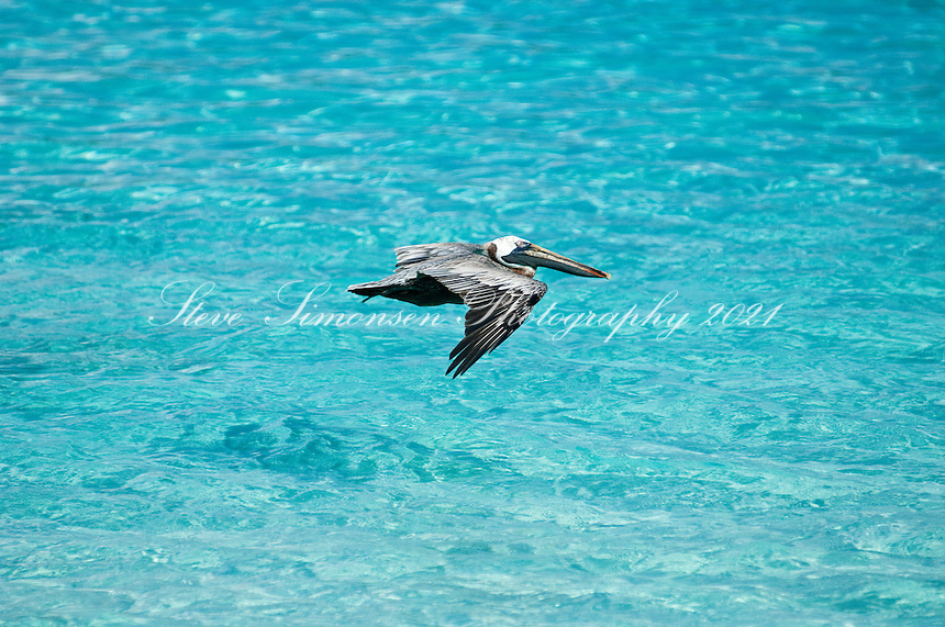 Brown Pelican flying over blue water<br /> St. John,<br /> U.S. Virgin Islands