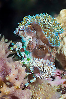 Spider Crab covered with Anemones, Cyclocoeloma tuberculata, Ambon Island, Maluku Islands or Moluccas, Indonesia, Banda Sea, Indo-Pacific Ocean