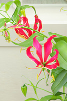 Gloriosa superba Rothschildiana summer bulb in flower against wall