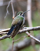 Adult male blue-throated hummingbird on branch. The largest hummingbird in the US.