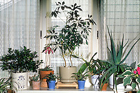 Houseplants in window with curtain: Container pots of gardenia, Paphiopedilum orchid, Brassia orchid, Cactus, Aloe, etc mixture