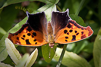 "The Question Mark (Polygonia interrogationis) is a North American nymphalid butterfly. They live in wooded areas and city parks, or generally in areas which feature trees and free spaces. The adult butterfly has a wingspan of 5—7.5 cm (2—3 in). Its flight period is from May to September. ""The silver mark on the underside of the hindwing is broken into two parts, a curved line and a dot, creating a ?-shaped mark that gives the species its common name."