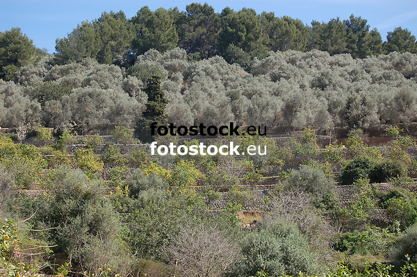 terraces with olive trees and orange trees<br /> <br /> terazas con olivos y naranjos<br /> <br /> Terrassen mit Olivenb&auml;umen und Orangenb&auml;umen<br /> <br /> 3008 x 2000 px