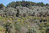 terraces with olive trees and orange trees<br /> <br /> terazas con olivos y naranjos<br /> <br /> Terrassen mit Olivenbäumen und Orangenbäumen<br /> <br /> 3008 x 2000 px