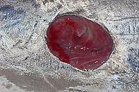 Cookiecutter Shark wound (cookie cutter shark) , Isistius brasiliensis, on belly of Bigeye Tuna, Thunnus obesus ,caught off Kona Coast, Big Island, Hawaii, Pacific Ocean