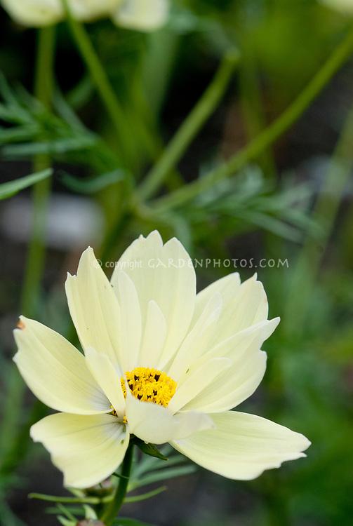 Cosmos bipinnatus 'Xanthos' yellow flowered half hardy annual