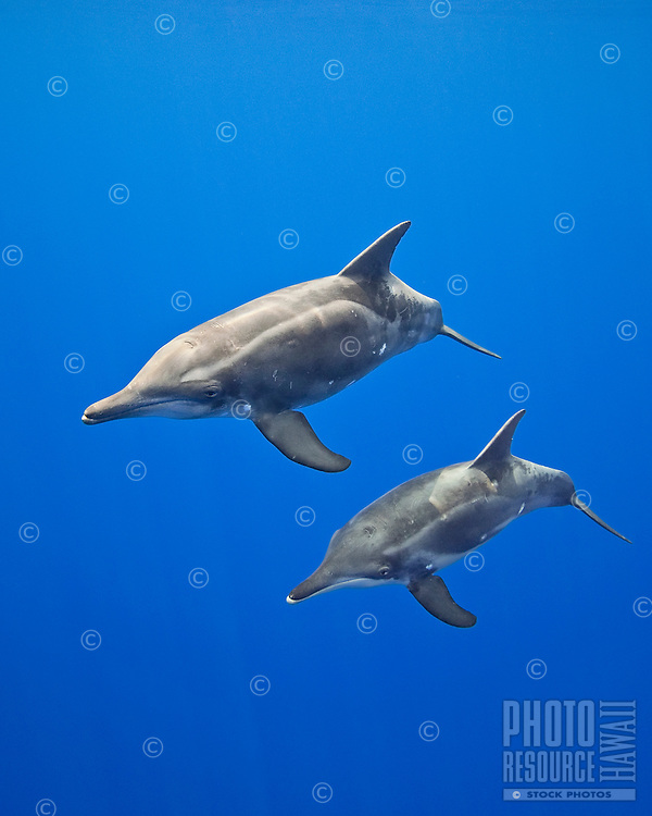 Rough-toothed dolphins (Steno bredanensis), mother and calf, Kona Coast, Big Island, Hawai'i